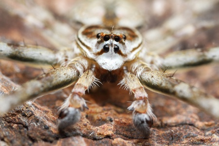 Two tail Spider Stock Photo - 17386640