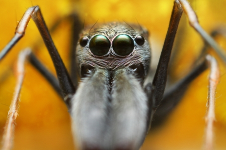 Face Spider
