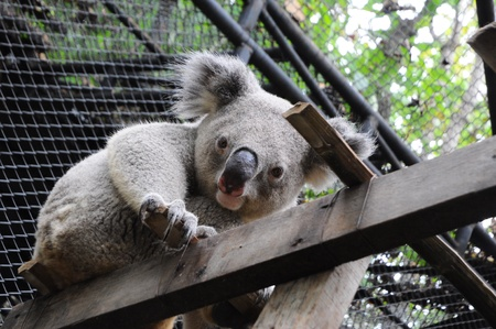 close up of koala bear in zoo photo