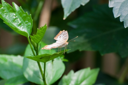 animalia: butterfly