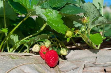 strawberry tree photo