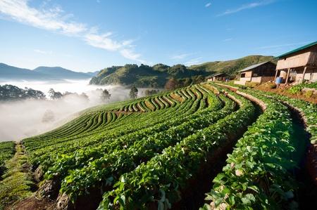 strawberry field Stock Photo - 17137718