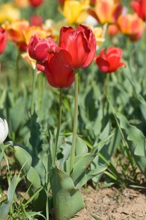 kashmir: the tulip field in Kashmir, India