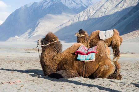 leh: camel in Nubra valley, Leh, India