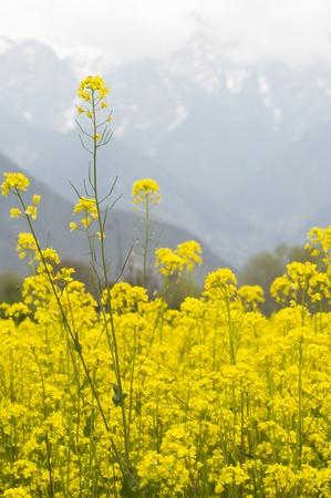 kashmir: closed up mustard field in Kashmir, India