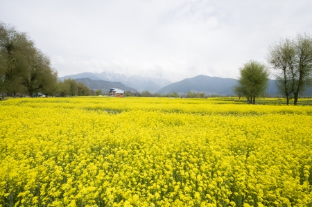 mustard field: the mustard field in Kashmir, India