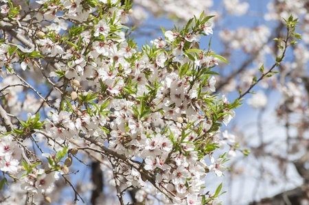 leh: apricot flower in Leh