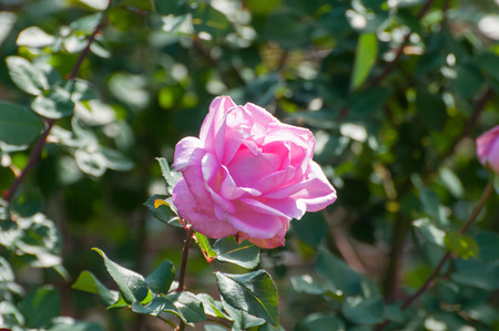joey: just joey, a pink rose in a garden