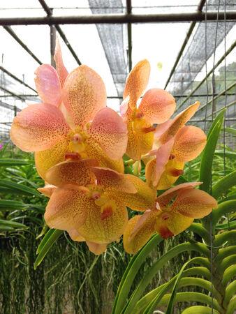 orchid tree: cerr� con un alza del �rbol de orqu�dea en el jard�n