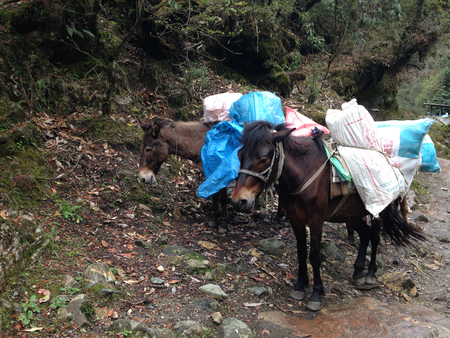 mules: the mules are carrying stuffs for trekking in Nepal
