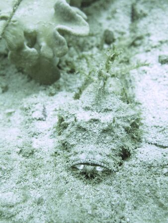stonefish: closed up the stone fish in nroth Andaman, Thailand