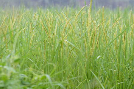 yellow  green: closed up the ear of rice in a field