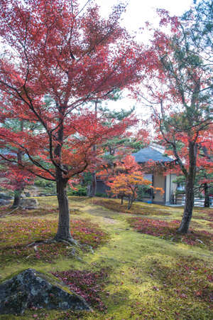 red maples: view of the park with red maples tree in Japan