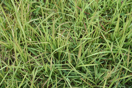 convolvulus: view of water convolvulus flower Stock Photo
