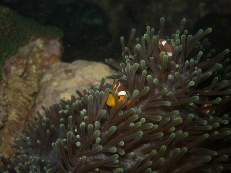 clown fish: the clown fish in soft coral in Myanmar divesite Stock Photo