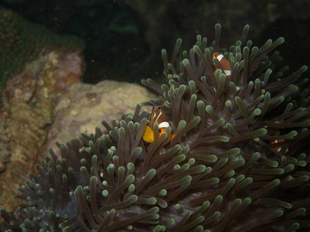percula: the clown fish in soft coral in Myanmar divesite Stock Photo