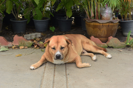 stray: the thai fat strayed dog is sleeping on the ground