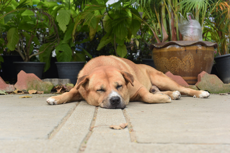 the thai fat strayed dog is sleeping on the ground