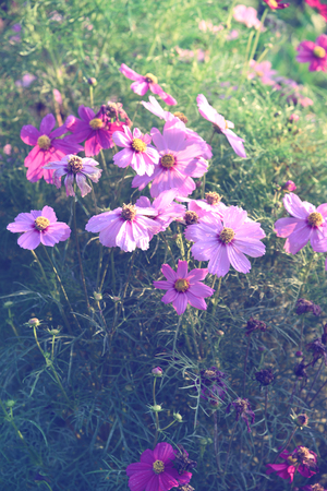 closed up the purple cosmos field
