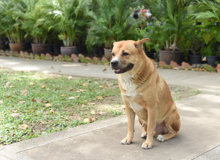 the thai fat strayed dog is sitting on the ground Stock Photo