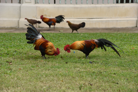 The rooster is finding food on a ground Stock Photo