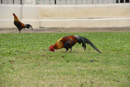the rooster is finding food on a ground