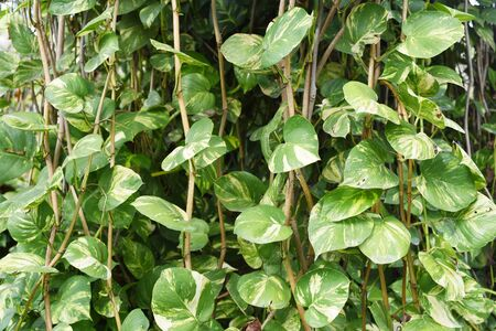Closed up the golden pothos on a tree Stock Photo