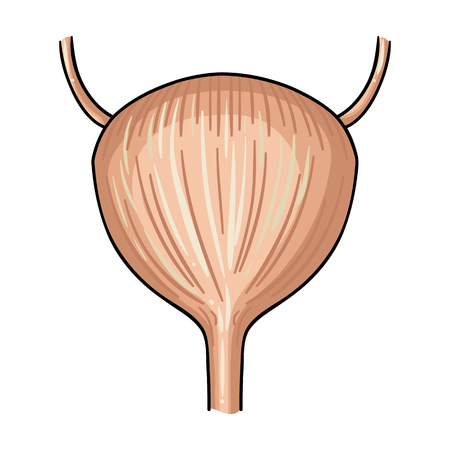 urinary bladder: Human urinary bladder icon in cartoon style isolated on white background. Human organs symbol vector illustration.