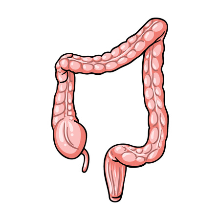Human large intestine icon in cartoon style isolated on white background. Human organs symbol vector illustration.