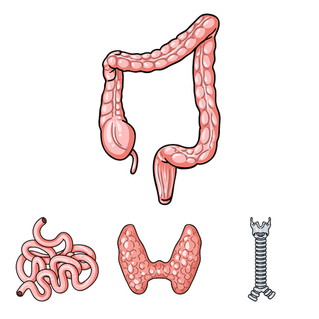 large intestine: Thyroid gland, spine, small intestine, large intestine. Human organs set collection icons in cartoon style vector symbol stock illustration web.