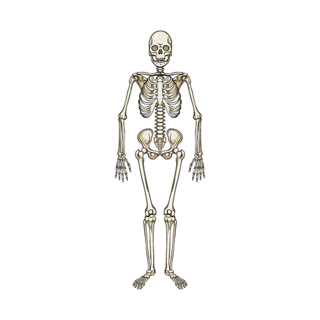 Vector design of bone and skeleton symbol. Collection of bone and human vector icon for stock. Illustration