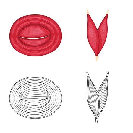 Isolated object of fiber and muscular icon. Collection of fiber and body stock vector illustration.