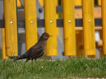 Blackbird female photo