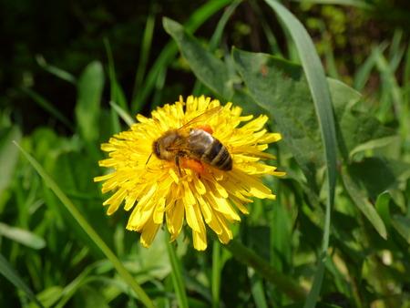 Honeybee on dandelion photo