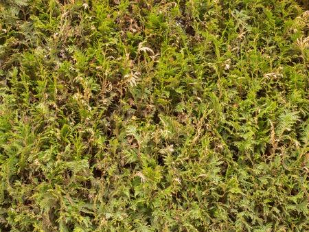 Hedgerow texture photo