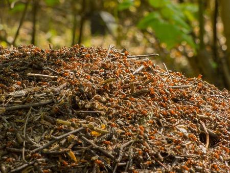 ameisenhaufen: Anthill im Wald Lizenzfreie Bilder