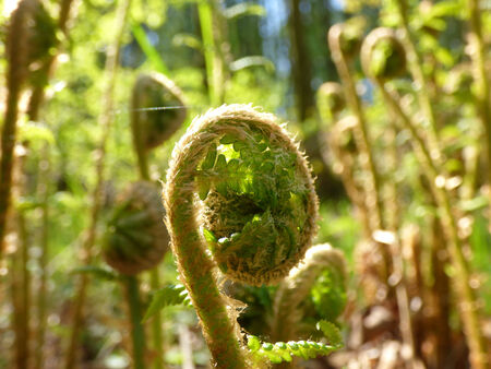 unfolding: Young fern