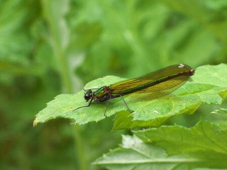Green dragonfly on leaf