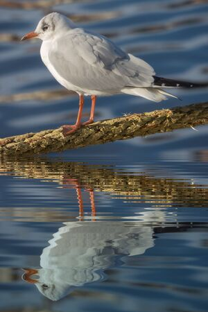 lead rope: Gull on a rope with water refections Stock Photo