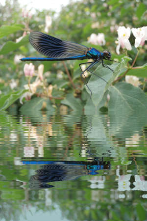 Blue dragonfly on leaf with water refections Banco de Imagens