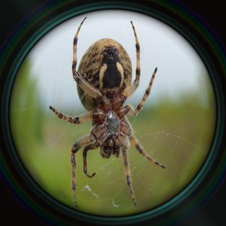 suspenso: Ara�a de jard�n en la web en la lente del objetivo Foto de archivo