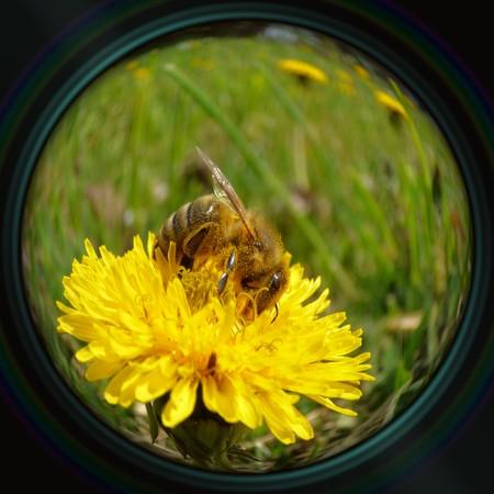 Honeybee on dandelion in objective lens photo
