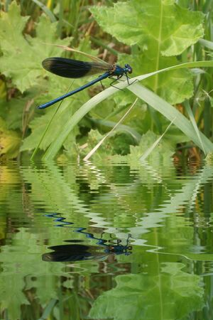 Blue dragonfly on leaf with water refections photo