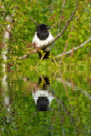 Magpie on tree branch with water refections photo