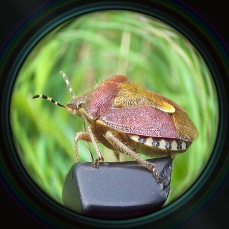 Heteropter bug in objective lens photo