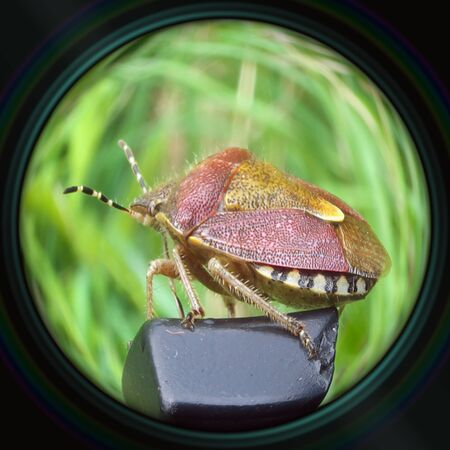 prasina: Heteropter bug in objective lens Stock Photo