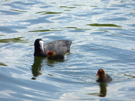 coot: Black coot on lake