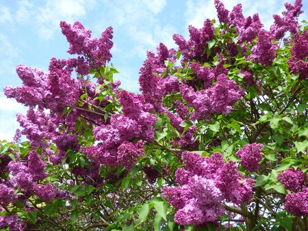 purple lilac: Purple lilac bush