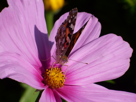 inachis: Butterfly on pink flower
