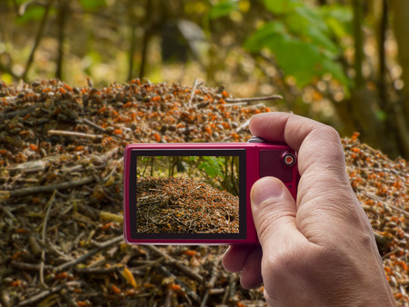 Anthill in forest in camera viewfinder Stock Photo